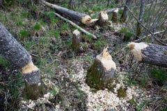 Danno del castoro in foresta Fotografia Stock Libera da Diritti
