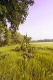 Danno del raccolto nel campo di mais Fotografia Stock