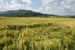 Danno del vento nei campi di cereale Immagini Stock
