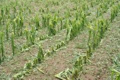 Danno della grandine su mais Fotografia Stock Libera da Diritti