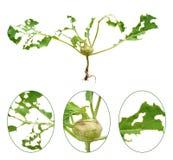 Danno della lumaca di cavolo rapa verde Fotografia Stock