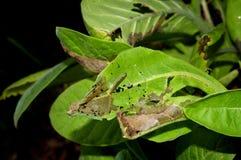 Danno della pianta di tabacco Fotografia Stock Libera da Diritti