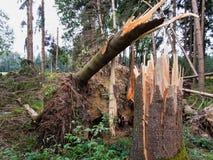 Danno della tempesta. alberi nella foresta dopo una tempesta. fotografie stock libere da diritti