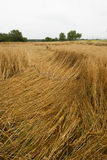 Danno nel campo di mais, Germania del raccolto Fotografia Stock