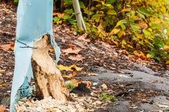 Dano da árvore do castor Imagens de Stock