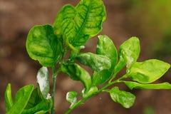 Dano marcado da praga de inseto de Mealybug do citrino na folha do cal Fotografia de Stock Royalty Free