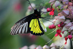 Dans av den birdwing fjärilen Royaltyfri Foto