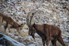 Dans des chèvres de montagne de vallée d'aile du nez-Archa photos stock
