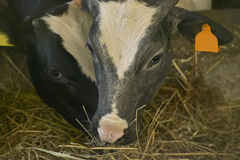 Dans l'élevage Photos stock