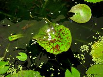 Dans l'étang de lotus - guppy de poissons Photos libres de droits