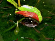 Dans l'étang de lotus - guppy de poissons Photos stock
