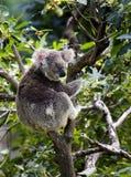Dans l'Australie, un grand koala, maître des arbres Photo libre de droits