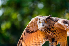 Dans l'humeur de l'attaque - grand hibou à cornes Images libres de droits