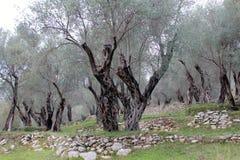 Dans l'Olivewood célèbre (Monténégro, Ulcinj, hiver) image libre de droits