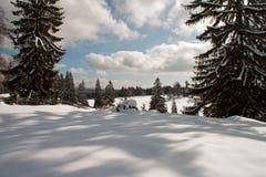 Dans l'ombre des arbres de pin Photographie stock libre de droits