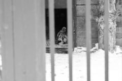 Dans la cage &#x28 ; tiger&#x29 ; image stock