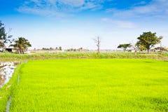Dans la culture de riz. Photos stock