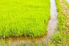 Dans la culture de riz. Photo libre de droits