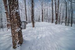 Dans la forêt d'érable image libre de droits