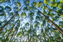 Dans la forêt d'eucalyptus images libres de droits