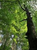 Dans la forêt de hêtre Photos stock