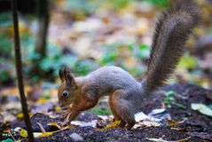 Dans la forêt l'écureuil cache des écrous pour l'hiver enregistré Photographie stock