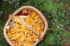 Dans la forêt, le champignon a placé le panier avec des chanterelles images libres de droits