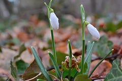 Dans la forêt, perce-neige parmi les feuilles tombées photographie stock libre de droits