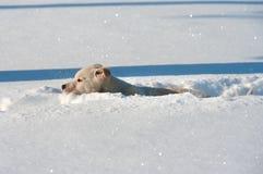Dans la neige profonde Images libres de droits