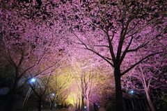 Dans la vue de fleurs de cerisier de Taïwan Photos libres de droits