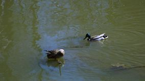 Dans le canard et le canard de bain de rivière banque de vidéos