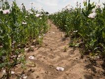 Dans le domaine de pavot en été chaud La fleur des pavots et du pavot vert dirige le déplacement en vent images libres de droits