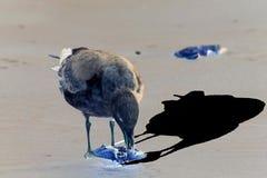 Dans le format négatif : Mouette sélectionnant des restes d'une carcasse de crabe photographie stock