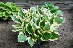 Dans le jardin Le Hosta est un genre des usines généralement connues sous le nom de hostas, lis de plantain en Grande-Bretagne et photo stock