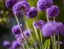 Dans le jardin - un groupe de fleurs pourpres Images libres de droits