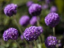Dans le jardin - un groupe de fleurs pourpres - un plan rapproché Image stock