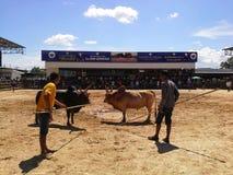 Dans le jeu, les taureaux, Songkhla Photos stock