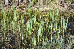 Dans le marais commencez à cultiver de jeunes usines au printemps images stock