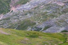 Dans le pré alpin, un troupeau de chevaux frôle image stock