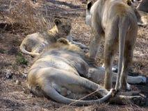Dans le repaire des lions Images libres de droits