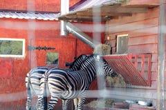 Dans le zoo, deux zèbres mangent photographie stock libre de droits