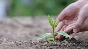 Dans les mains des arbres cultivant des jeunes plantes Bokeh verdissent la main femelle de fond tenant l'arbre sur la conservatio banque de vidéos
