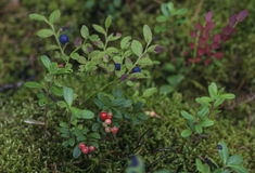 Dans les myrtilles et le cranberri verts de baies de brindilles de mousse de forêt photo libre de droits