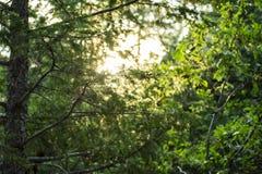 Dans les pins Photos libres de droits