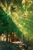 Dans les rayons de soleil de forêt de sapin Photo stock