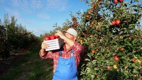 Dans les rayons du soleil, agriculteur masculin dans la boîte de prises de chemise et de chapeau de plaid, pleine des pommes jute banque de vidéos