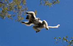 Dans Sifaka i flykten på bakgrund för blå himmel madagascar Arkivbilder