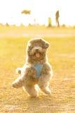 dans som gör den lyckliga poodlen Royaltyfria Bilder