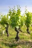 Dans un champ des vignobles Image stock