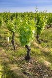 Dans un champ des vignobles Photographie stock